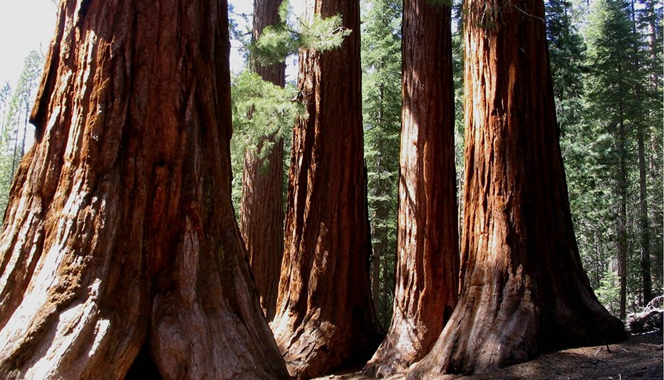 Mariposa Grove of Giant Sequoias Image Bass Lake Realty